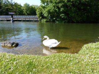Thames swan